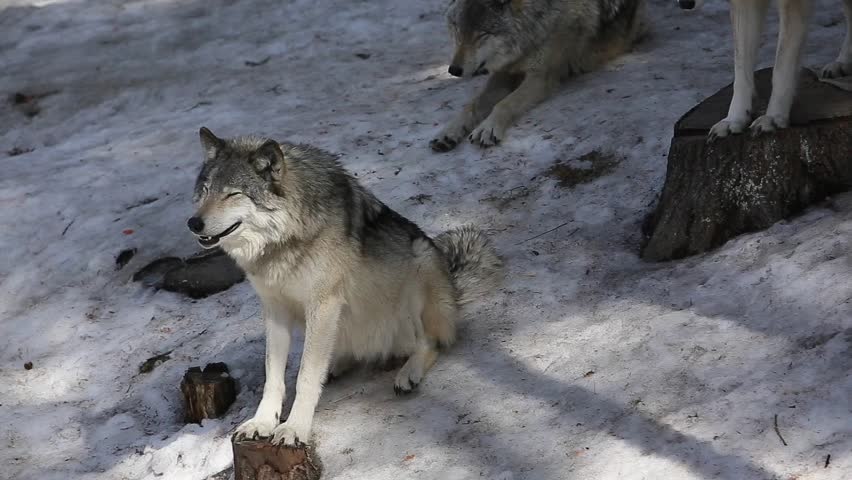timber wolf pack in the