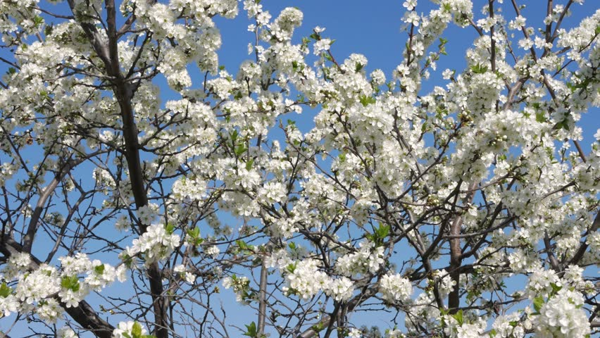 Bees Pollinate Fruit Trees The White Flowers Of The Blackthorn