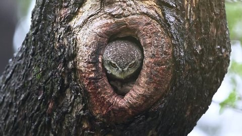 Spotted owlet (athene brama) nest inside the tree hollow, The spotted owlet is a small owl which breeds in tropical Asia from mainland India to Southeast Asia.  Nonthaburi Province ,Thailand