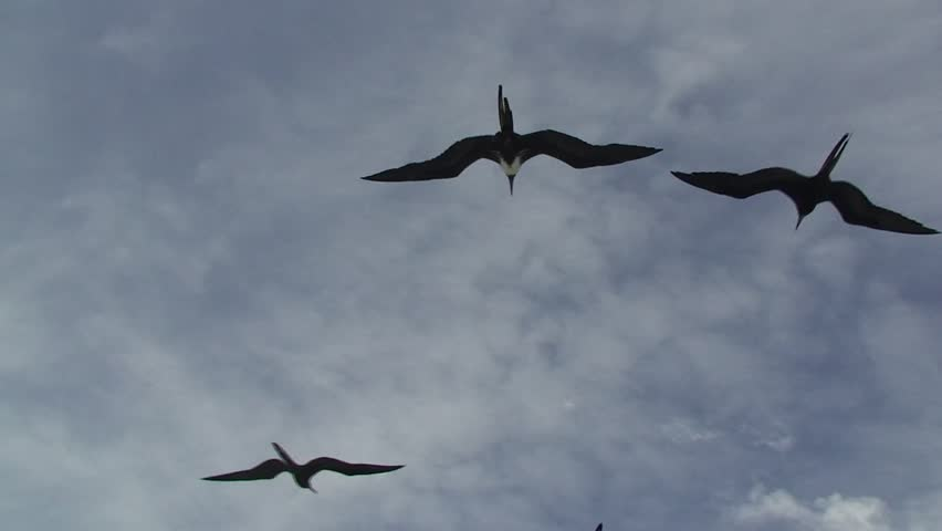 Frigate birds flying ahead of a boat - HD stock video clip
