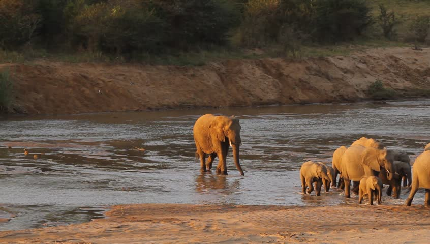A shot of half of the herd of elephants crossing the river .