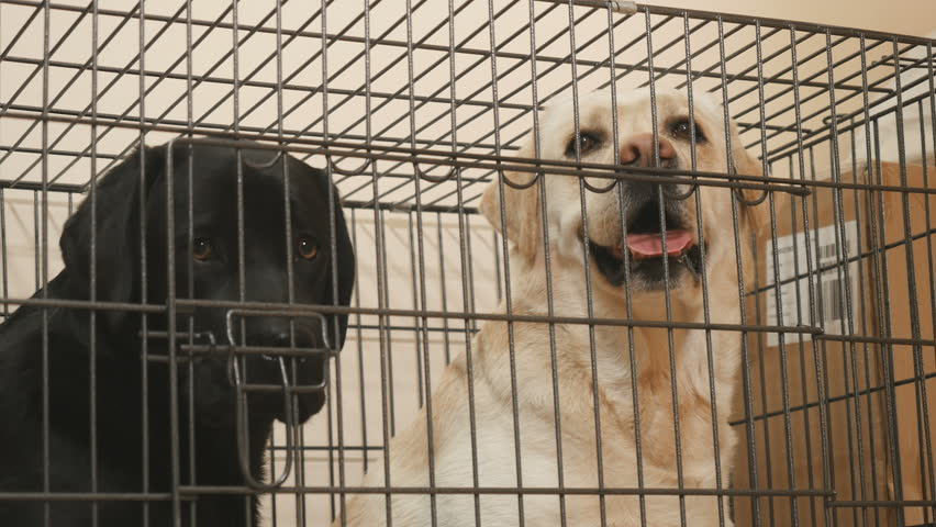 Golden and black labradors in the cage - 4K stock footage clip