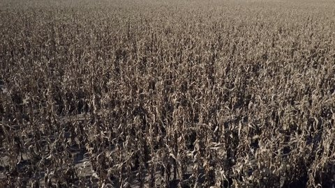 Slow aerial reveal of endless rows of dead corn following a drought