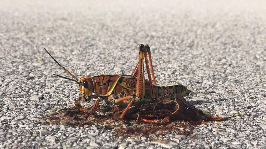 Header of locust