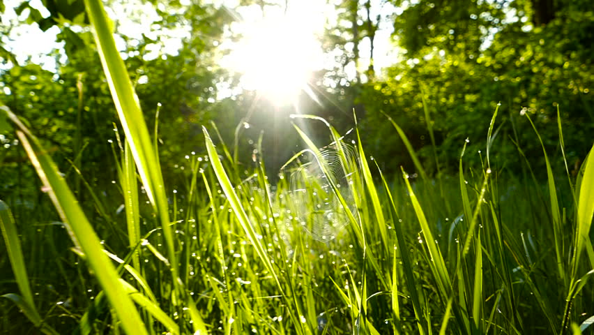 Slow motion. Green grass with dew at spring morning opposite the sun.