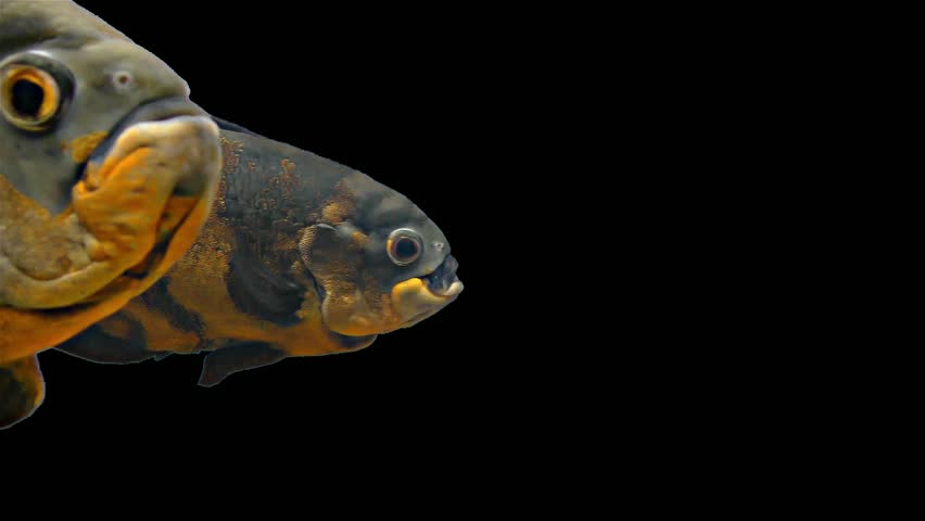 Amazon Tropical Fish - Tiger Oscar, Black Background - Magnificent tropical fish