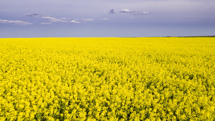 Aerial drone shot of blooming yellow canola rape seed fields #27441379
