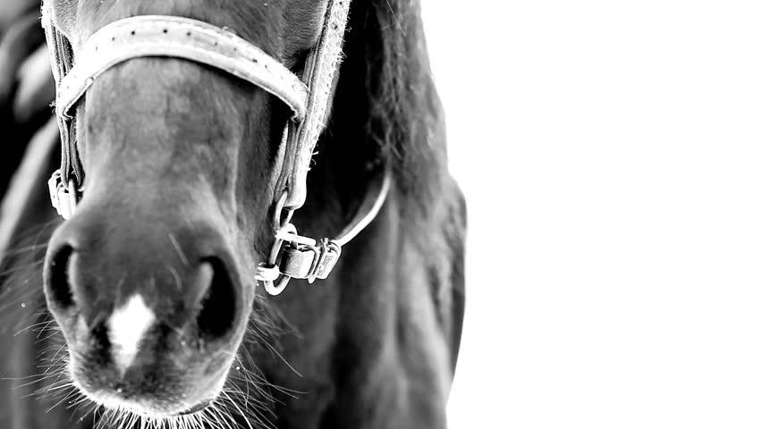 Breathing of black horse in winter