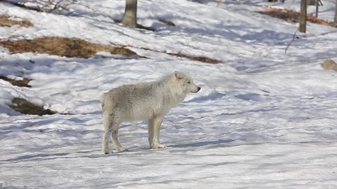 arctic wolf looks at you and walks