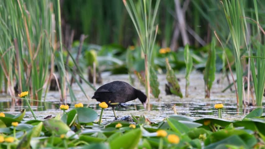 Bald-coot (lat. Fulica atra) in native habitat   Shutterstock HD Video #27476248