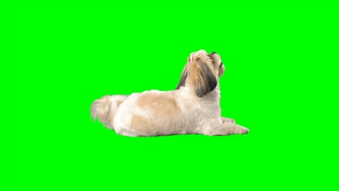 4K Dog Puppy Sitting and Looking around While Lying with a Cute Face Green Screen Chroma Key Background Shih Tzu Doggy Looking Up for Food