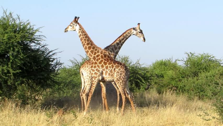 Giraffe male neck swing fight