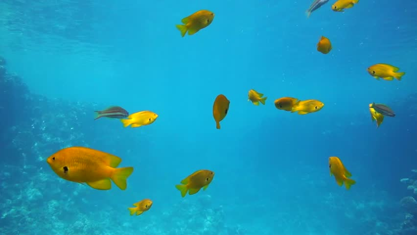 School fish blue background school of fish swimming by for Fish swimming video