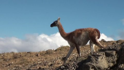 Guanaco lama exotic mammal wild animal in Andes mountains of Patagonia. Pasture of herbivores in wildlife in Tierra del Fuego.