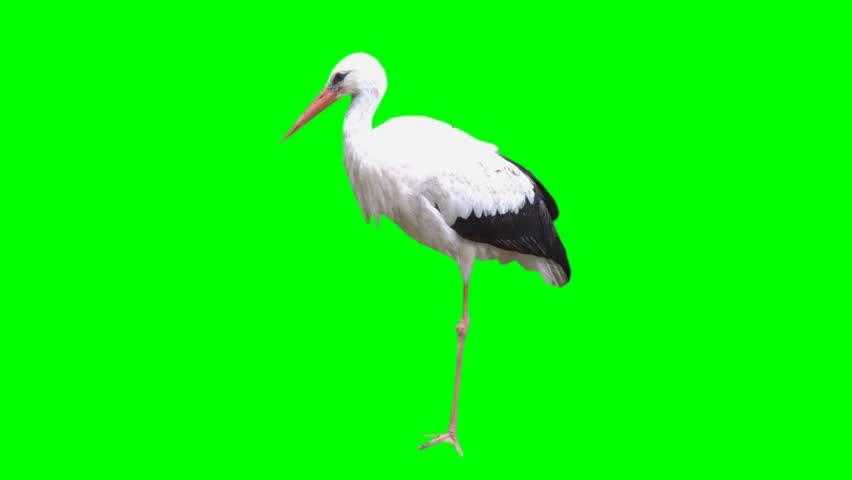 4K Stork Bird Pelican Standing Up and Looking Around on its Foot Green Screen Chroma Key Background Animal White and Black