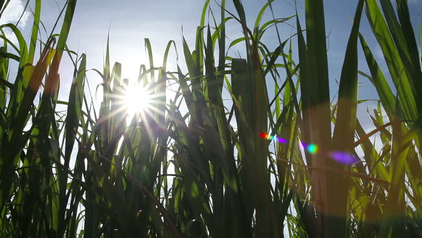 Sugar Cane Renewable Energy