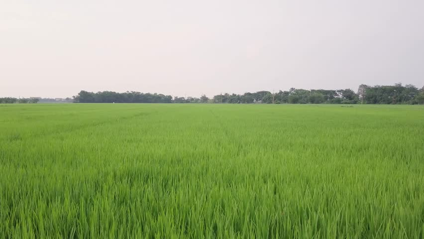 aerial view on green rice farm,Thailand,Asia,drone flying forward and flying to higher over rice farm