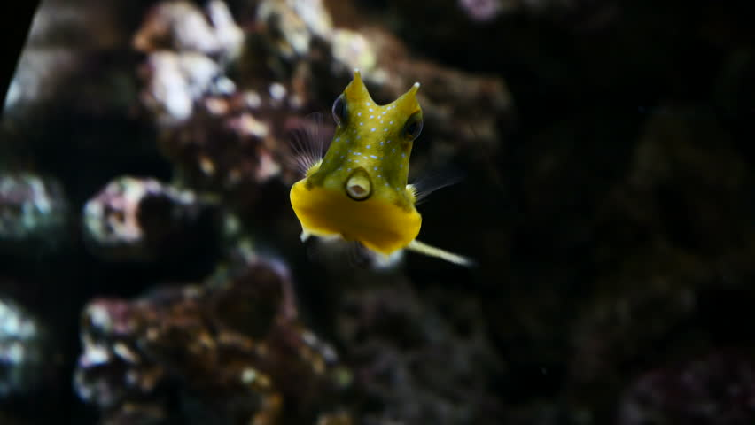 Yellow cow fish swimming.Filmed in Faunia, Madrid, Spain, in June 2017.
