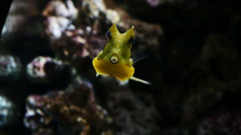 Yellow cow fish swimming.Filmed in Faunia, Madrid, Spain, in June 2017.