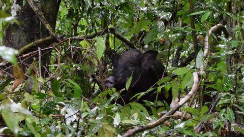 Eurasian wild pig or Wild boar (Sus scrofa) in the jungle. Koh Chang Marine National Park, Thailand.