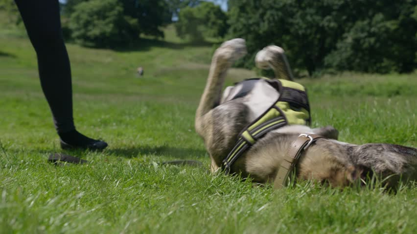 Playful Dog Rolling Over in Grass in Park