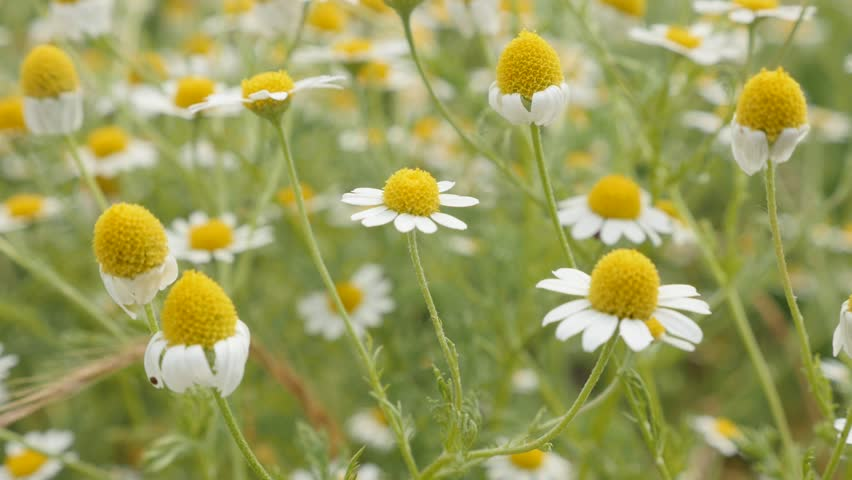 Field of Matricaria recutita plant slow-mo 1920X1080 HD footage - Slow motion common Chamomile white spring flowers 1080p FullHD video