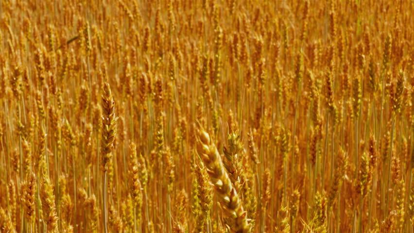 Sliding back over field of ripe golden wheat. (av31383c)