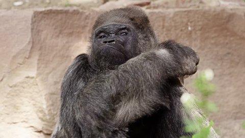 Closeup portrait of a gorilla male, severe silverback, Close up, slow motion