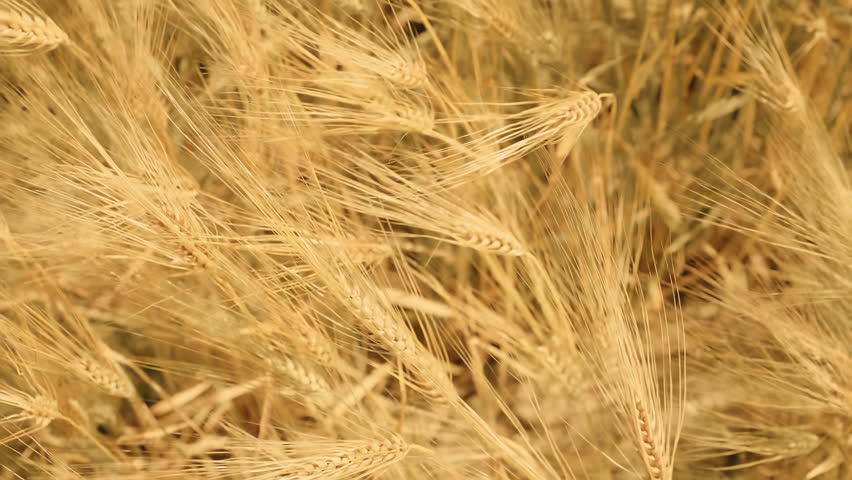 Close up of golden ripe barley ears with soft focus shot from top. Ears swaying in the wind. Barley field with bright summer sun shine | Shutterstock HD Video #27942451