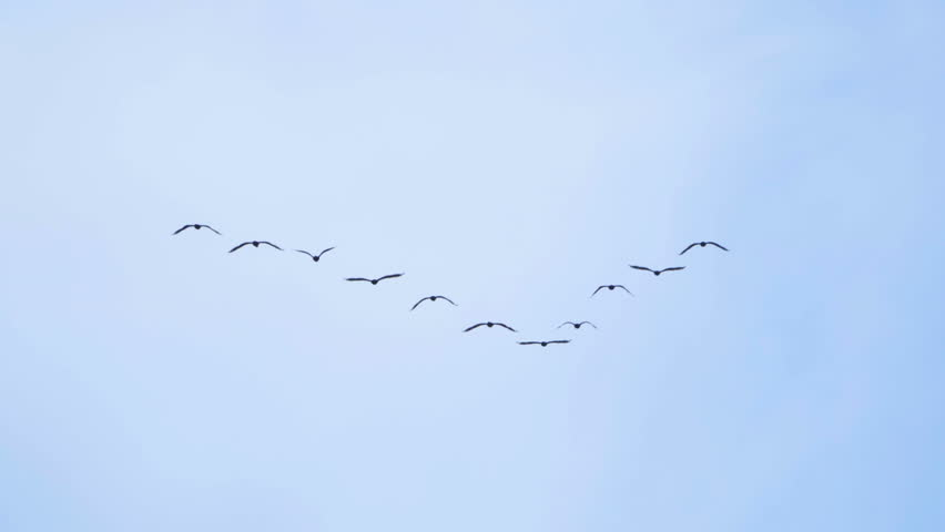 Follow leaders: Flock of  geese flying in an imperfect V formation. Slow motion.  Birds Geese flying in formation, Blue sky background. Migrating Greater birds flying in Formation | Shutterstock HD Video #27953668