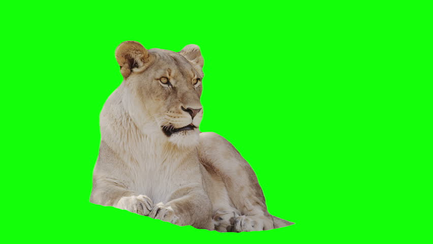 Lioness footage with alpha channel and green screen.  #2800798