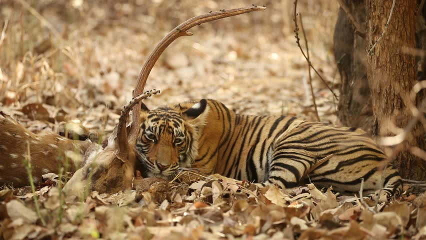 Tiger in the nature habitat. Bengal tiger cub eating fresh kill in the shadow. Wildlife scene with danger animal. Hot summer in Rajasthan, India. Dry trees with beautiful indian tiger, Panthera tigris
