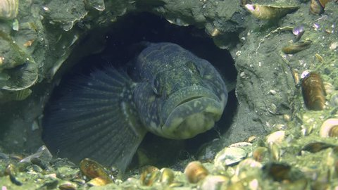Reproduction of Grass goby (Zosterisessor ophiocephalus): the male hides in a burrow, picking up a cloud of dregs, close-up.