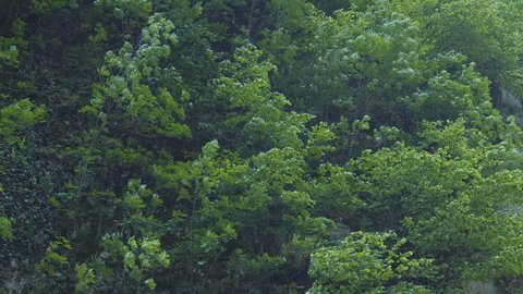 Young deciduous trees grown on mountain wall, moving with the wind