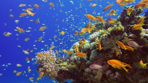 Beautiful Tropical Coral Garden. Picture of a wonderful and beautiful underwater colorful fishes blue-green chromis, scalefin anthias fish and corals in the tropical reef of the Red Sea, Dahab, Egypt.
