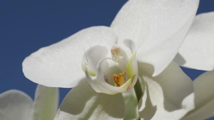 White Moth Orchid Plant And Stock Footage Video 100 Royalty Free