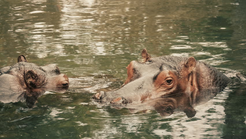Cinematic portrait of two hippos in a water hole.