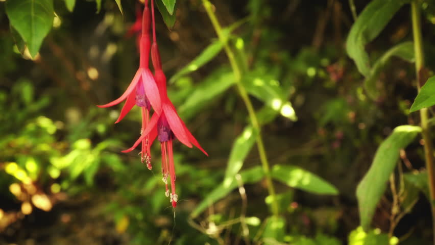 Fuchsia flower in close up stock footage. Bright red Fuchsia flower in close up against a vibrant green leafy background #28251100