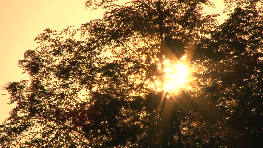 Sunshine star flare flickering through windy tree leaves at sunset.
