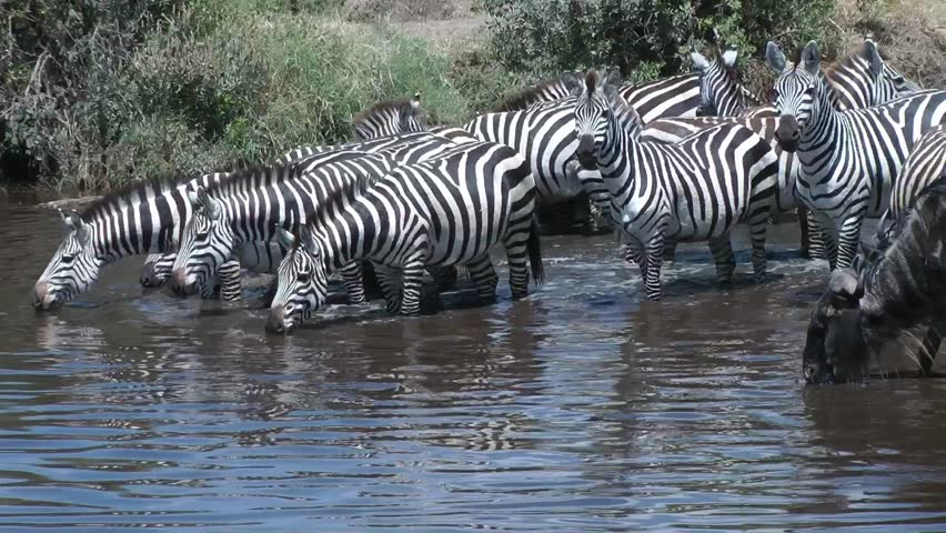 zebra wildebeast at waterhole , Serengeti, Tanzania, Africa
