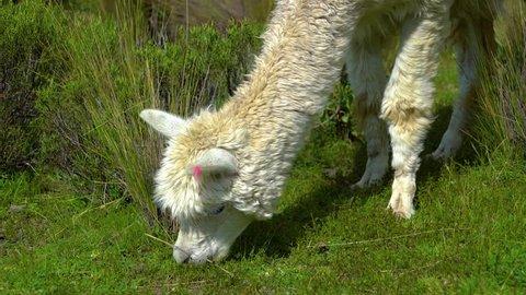 Llama walking around in the Colca Canyon Arequipa Peru
