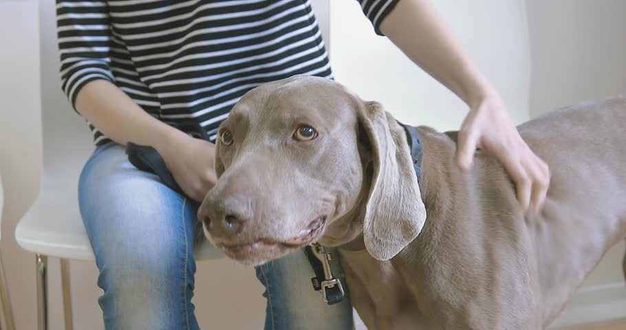 Weimaraner Dog and Owner at the veterinarian