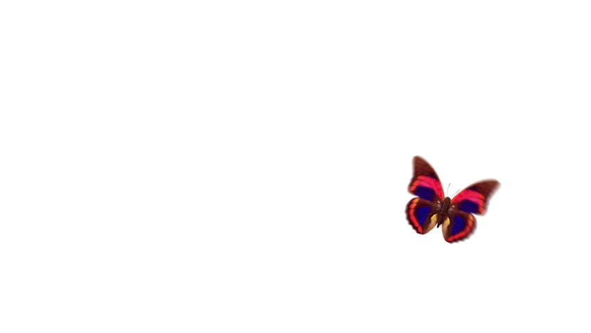 One butterfly flight and landing of an alpha channel, and white background | Shutterstock HD Video #2832817