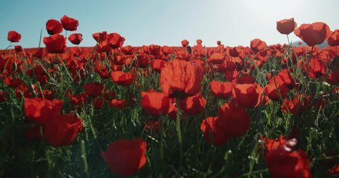 Steadicam shot of a field of red poppies in the highlands, spring, Sunny day, slow motion, POV