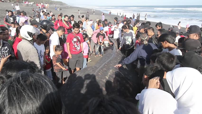 YOGYAKARTA, INDONESIA - CIRCA AUGUST 2012: People gather to view a beached whale shark which has died on Pandansimo beach in Yogyakarta, Indonesia.