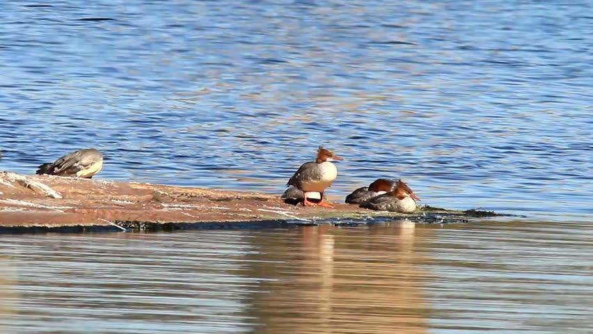 common merganser on a rockey shoreline #2844598