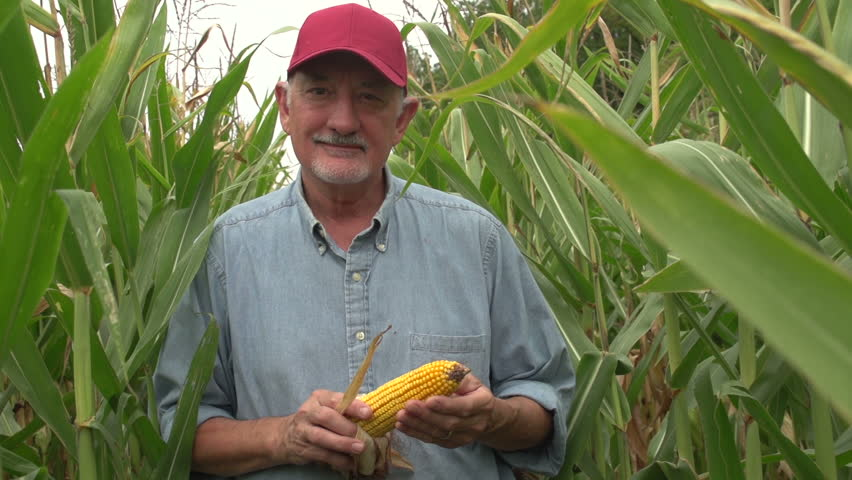 Farmer inspecting his corn in the field, looking at camera, standing