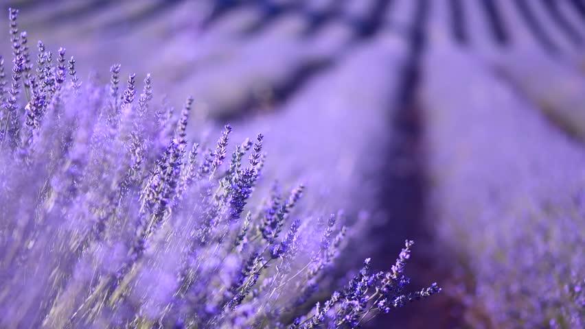 Lavender field in Provence, France. Blooming Violet fragrant lavender flowers Growing Lavender, harvest. 4K UHD video 3840x2160