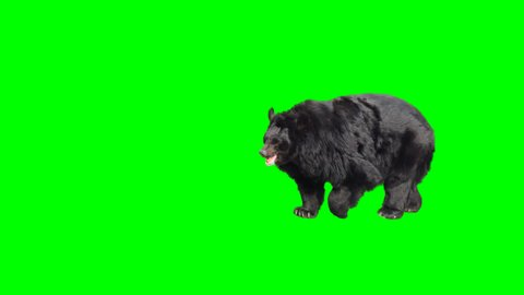 Asian black bear walking across the frame on green screen, real shot, isolated with chroma key, perfect for digital composition, cinema, 3d mapping