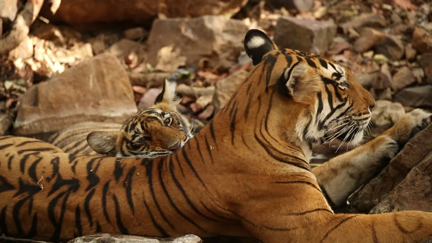 Tigers in the nature habitat. Tigers mother and cubs in the water. Wildlife scene with danger animal. Hot summer in Rajasthan, India. Dry trees with beautiful indian tiger. Panthera tigris
